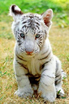 White Siberian Tiger Cubs | white tiger # tiger cub # tiger # white tiger cub # siberian tiger ...