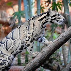 The clouded leopard. This is the smallest of the big cats and can be found in the Himilayan foothills through Southeast Asia and China. Despite its name, its not closely related to the leopard Nature Animals, Animals And Pets, Funny Animals, Cute Animals, Wild Animals, Big Cats, Cool Cats, Cats And Kittens, Beautiful Cats
