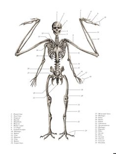 Winged humanoid skeletal anatomy