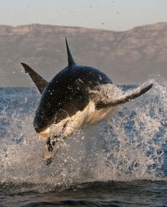 In a tactic known as 'spy hopping', the great white shark is also one of only a few sharks that regularly lift its head above the sea surface to sight their prey. It is believed that it enables them to smell better while hunting