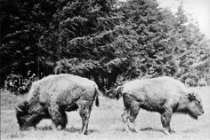 Bison at Woodland Park Zoo, 1914 Female Gorilla, Western Lowland Gorilla, Fountain City, Woodland Park Zoo, Reptile House, Blind Girl, Ostriches, Pony Rides, Pet Cage