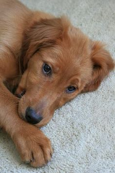 Golden Retriever / Irish Setter Puppy named Manhattan (Golden Irish Hybrid)