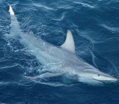 Hybrid Black Tip Shark