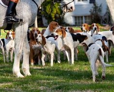 Easygoing, sweet, kind, and loyal, the American Foxhound dog breed belongs to a way of life that has continued for more than two centurie. American Foxhound, English Foxhound, Rare Dogs, Rare Dog Breeds, Expensive Dogs, The Fox And The Hound, Hunting Dogs, Family Dogs, Dog Names