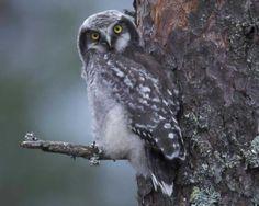 Northern Hawk Owl | Audubon Field Guide