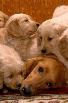 golden retriever family<3