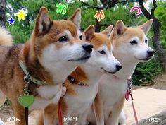 なかよしワンコさんと♪|ひかいちミルキー オフィシャルブログ「柴犬ひかりといちごと猫ミルキー」Powered by Ameba