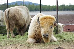 bison with Indians - Google Search