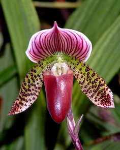 Plum colored Ladyslipper Orchid