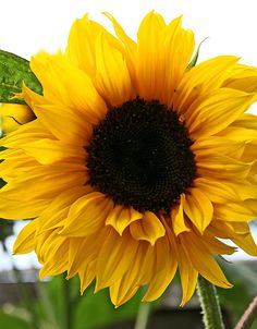 Sunflower | A sunflower from my 8ft stem, i am a little conf… | Flickr