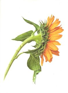 Image result for SUNFLOWER DRAWING