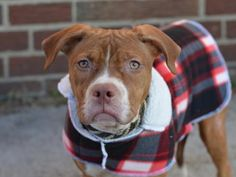 DOROTHY - ID#A1024068- NYC ACC- I am an unaltered female, tan and white American Pit Bull Terrier mix. The shelter staff think I am about 8 months old. I weigh 34 pounds. I was found in NY 11216. I have been at the shelter since Dec 26, 2014. http://www.petharbor.com/pet.asp?uaid=NWYK1.A1024068