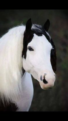 Black and White Paint horse with sweet face.