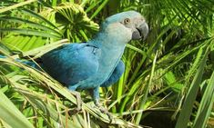 Eight bird species are first confirmed avian extinctions this decade. Most of the extinctions were caused by deforestation in South America, a new study of endangered birds shows Extinct Animals, Rare Animals, Extinct Birds, Blue Macaw, Save Wildlife, Habitat Destruction, Endangered Species, Species Extinction, Animals Of The World