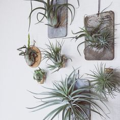 i loveeee the wood plaque to mount the air plants to the wall. Perennial Flowering Plants, Foliage Plants, Air Plants, Indoor Plants, Air Plant Display, Diy Plant Stand, House Plants Decor, Plant Decor, Garden Art
