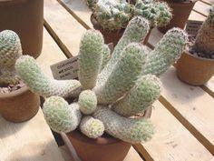 Escobaria chihuahuensis subsp. henricksonii