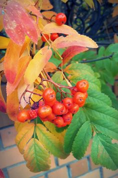 #berry #fall #autumn #leaves