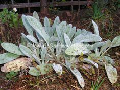 How To Grow & Use Wooly Lamb's Ear: Medicinal uses, ways to eat or make tea with plant, and more! (aka wooly woundwort)