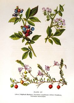 Blueberries and Cranberries 1954 Edith Johnston Botanical Lithograph Blueberry Flowers, Fruit Flowers, Wild Flowers, Vintage Botanical Prints, Botanical Drawings, Vintage Prints, Fruit Illustration, Botanical Illustration, Nc Tattoo
