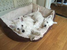 Westie Puppies, Westies, West Highland Terrier, White Terrier, White Dogs, Cairns, Terrier Dogs, Scottie, Sadie