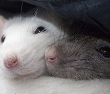 Fancy rats cuddling - photo#3
