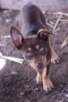 Australian Kelpie Dog This one is like our Chocky. She was a little nipper, and we had to find her a new home