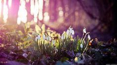 Весна подснежники 8.