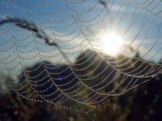 spindelvæv