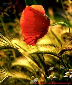 Red Poppy Flowers by arshamr — a My Opera Slideshow