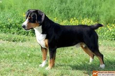 Entlebucher Sennenhond Entlebucher Mountain Dog, Bernese Mountain, Pet Dogs, Dogs And Puppies, Doggies, Search And Rescue Dogs, Rare Dog Breeds, Swiss Mountain Dogs, Cute Animals