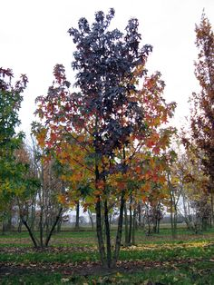 Liquidambar styraciflua Out Of This World, Our World, Garden Trees, Trees To Plant, Landscape Architecture Design, Mountain Living, Tree Shapes, Climbers, Shade Garden