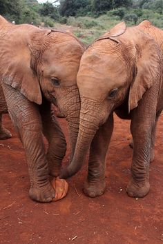 Two baby Elephants at an Elephant Orphanage, Nairobi (by PeteCrompton)