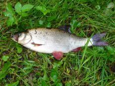 Ryba jaź | Swieżo złowiona we Wkrze