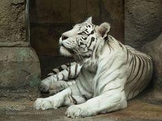 Sight of tiger