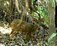 Veado-catingueiro , Fauna Brasileira