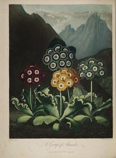 a group of auriculas, from a botanical work by carolus von linnaeus (1807)
