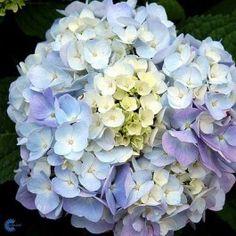 Have-hortensia (Hydrangea macrophylla 'Endless Summer') - Hortensia - Blomstrende buske - Haveplanter - Planteshop