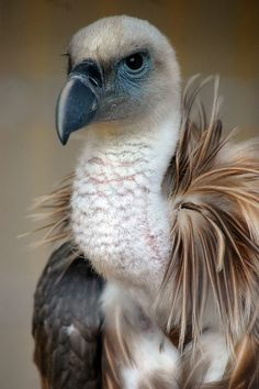 Birds of Prey - Western eurasian griffon vulture - by James L Taylor