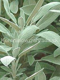 "Sage Seasoning: 20 Sementes - A"" - Salvia Officinalis, Natural Cures, About Me Blog, Gardening, Plants, Dark Skin, Crochet, Makeup, Health"