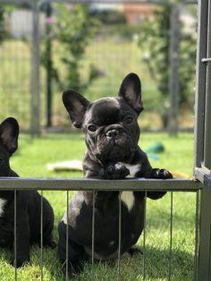 Francouzský buldoček je koncentrovaná roztomilost a má zlatou povahu French Bulldog Puppies, Dogs And Puppies, French Bulldogs, Bull Terrier, Pugs, Cute Dogs, Best Friends, Cute Animals, Goals