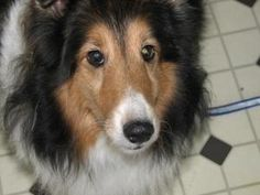 Jasmine 1026 is an adoptable Shetland Sheepdog Sheltie Dog in Indianapolis, IN. Sheltie Rescue of Central Indiana is a regional rescue comprised of a dedicated group of volunteers within the state of ...