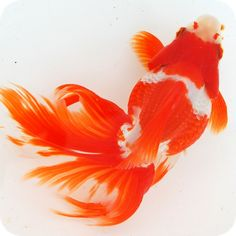 .Goldfish                                                                                                                                                                                 More
