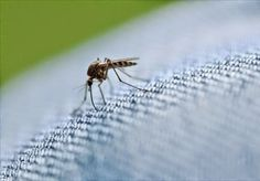 Τα ενοχλητικά έντομα του καλοκαιριού είναι τα κουνούπια και οι μύγες, τα πρώτα γιατί μας τσιμπάνε και μας πίνουν το αίμα, τα δεύτερα γιατί κάθονται πάνω στο φαγητό μας κουβαλώντας χίλια δυο μικρόβια. Γιαυτό σήμερα θα δούμε τι μπορούμε να κάνουμε για να διώξουμε τα ανεπιθύμητα έντομα από το σπίτι με φυσικούς τρόπους.