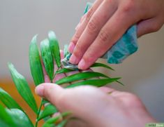 How to Clean Your Indoor Houseplants. Houseplants can provide your home with purer air and a lively appearance, all while offering you a satisfying, low-maintenance hobby. Unfortunately, the leaves of your houseplants will accumulate a. House Cleaning Tips, Cleaning Hacks, Types Of Houseplants, Plant Delivery, Large Plants, Plant Care, Clean House, Indoor Plants, House Plants