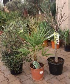 Een heel leuk starterspakket met een olijf struik,  palmboompje en een vijgenboom! Acer Palmatum, Ficus, Starters, Figs, Fig, Ficus Tree