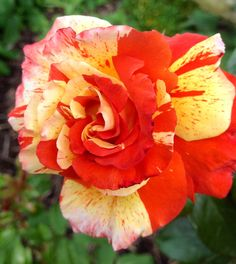 Oranges & Lemons rose - Looks like you could smell it from here!!