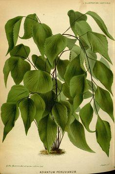 v.25 (1878) - L'Illustration horticole : - Biodiversity Heritage Library