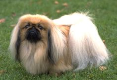 Pekingese    Pekingese possess a regal dignity, intelligence and self-importance, making them good natured, opinionated and affectionate family companions. Their small size makes them a good choice for apartment life, but they are sometimes difficult to housebreak. They are relatively inactive indoors and do not need a yard, but enjoy walks. Because of their long undercoats, Pekes need at least an hourly brushing session per week.