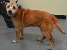 SUPER URGENT 11/4/14 Brooklyn Center   CODY - A1019703  I am an unaltered male, tan and white Australian Cattle Dog mix.  The shelter staff think I am about 12 years old.  I was found in NY 11693.  I have been at the shelter since Nov 04, 2014.  https://www.facebook.com/Urgentdeathrowdogs/photos/a.617942388218644.1073741870.152876678058553/899521650060715/?type=3&theater
