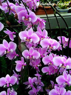 Lluvia de orquídeas con Phalaenopsis sp.